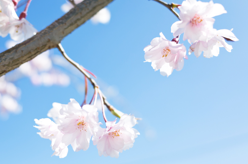 cherry-blossoms2
