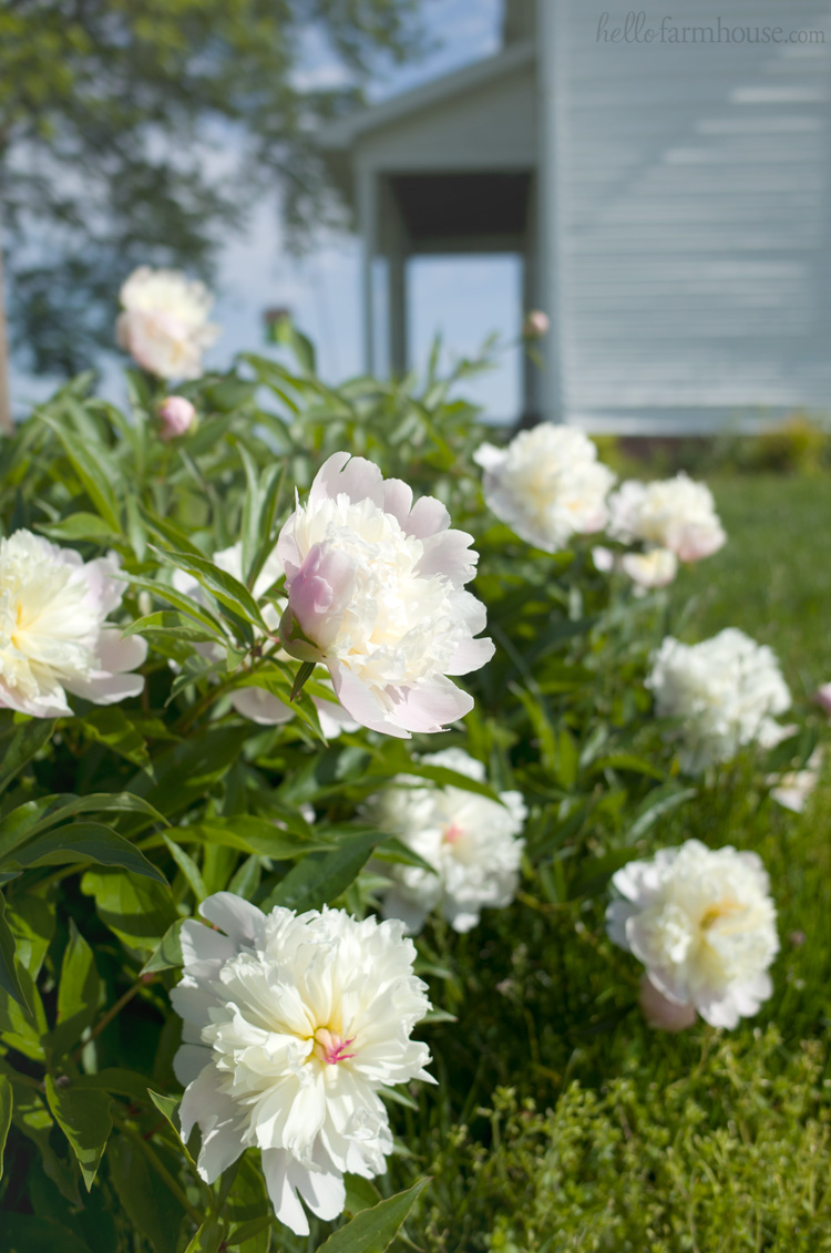 Farmhouse peonies - Peony home decor