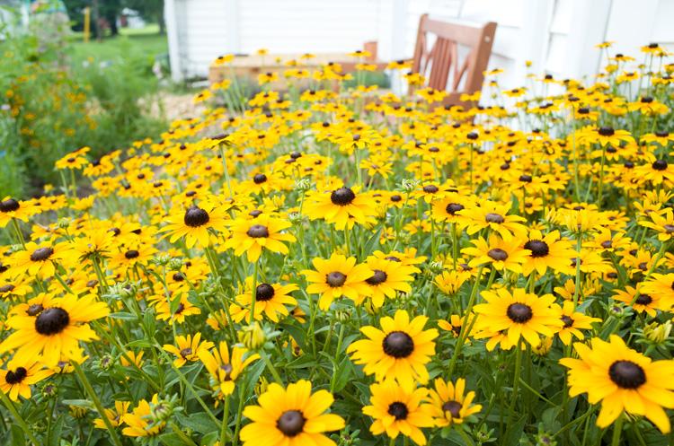 Black eyed susans wildflower garden