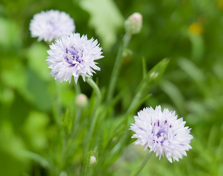 blue wildflower garden