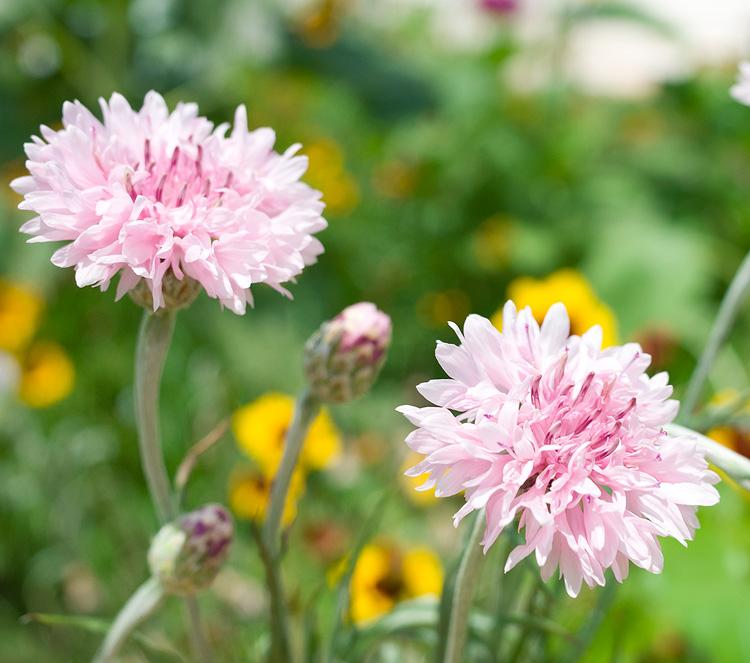 pink wildflower garden