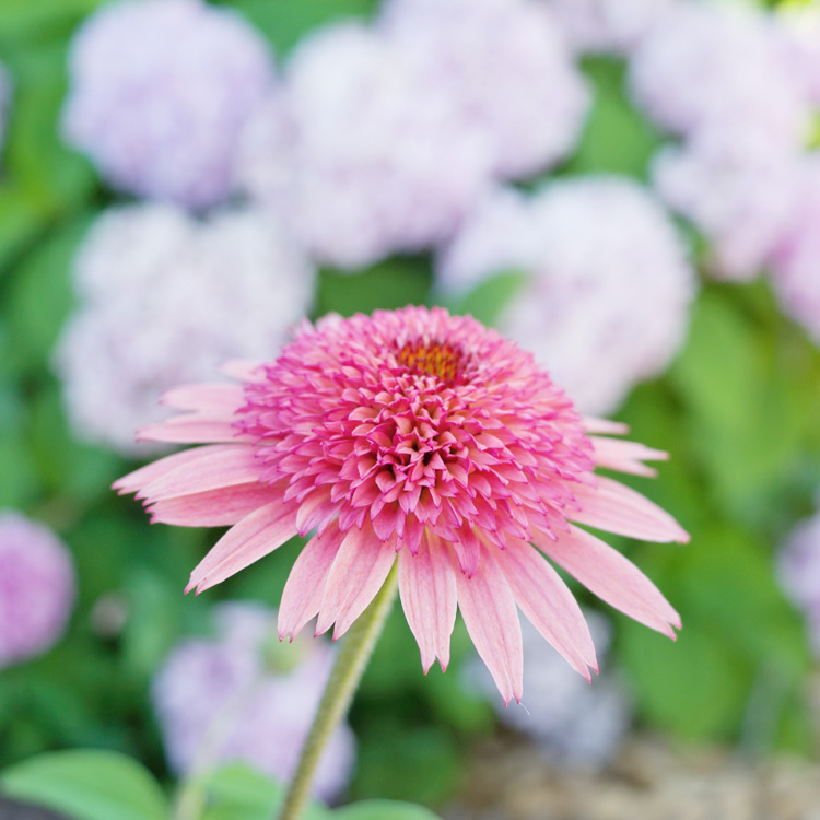 Picks for a farmhouse flower garden