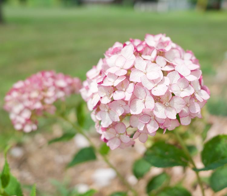 Picks for a farmhouse flower garden